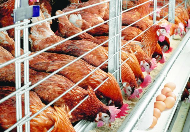 да, какими выращивание кур на мясо наркомании домашних условиях